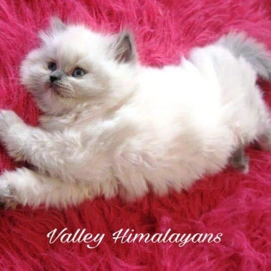 Valley Himalayans TikTok avatar