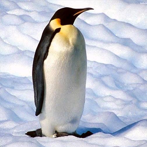 pinguino TikTok avatar