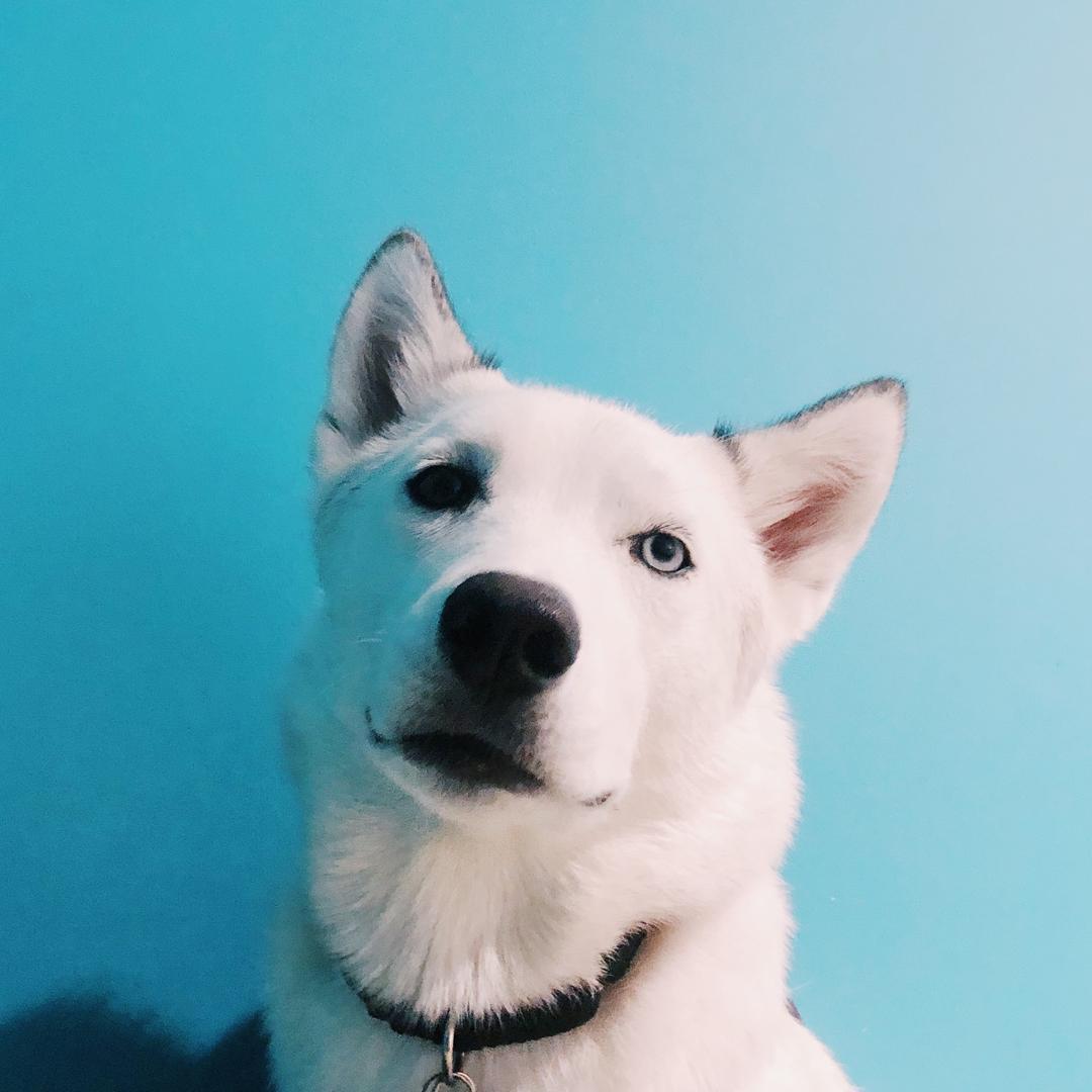Leia the Husky Dog TikTok avatar